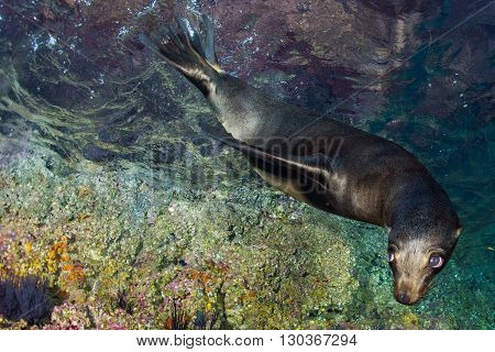 Young Puppy Seal Californian Sea Lion Coming To You