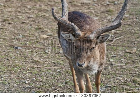 Male Roe Mule Deer
