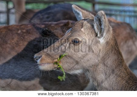 Female Roe Mule Deer