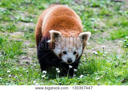 Red Panda Close Up Portrait