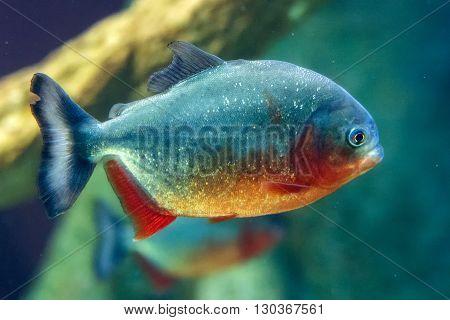 piranha fish underwater close up portrait detail
