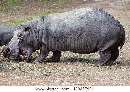 hippo hyppopotamus close up portrait hippo hyppo