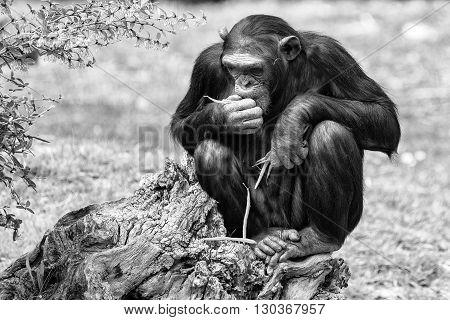 Ape Chimpanzee Monkey In B&w