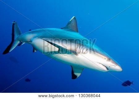 Grey Shark Jaws Ready To Attack In The Blue