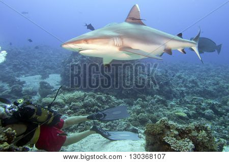 Grey White Shark Ready To Attack A Diver