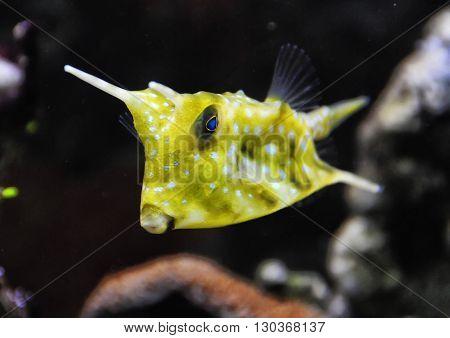 Horned Box Fish Close Up Portrait