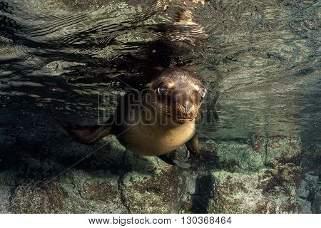 Puppy Sea Lion Underwater Looking At You