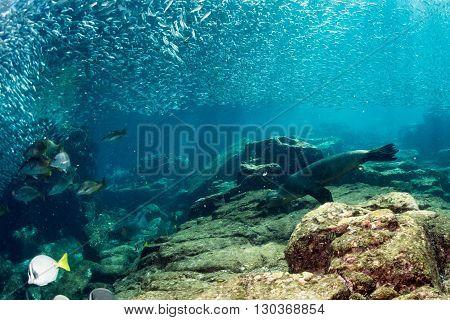 Sea Lion Seals Behind Giant Sardine Bait Ball Underwater