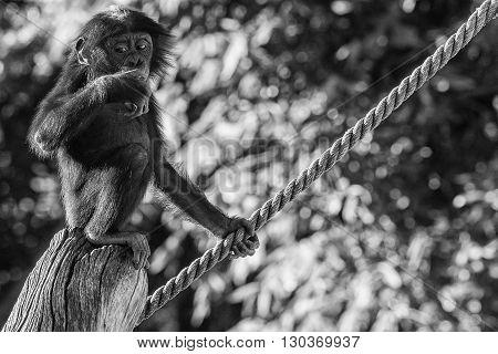 Newborn Baby Bonobo Chimpanzee Ape Portrait Close Up