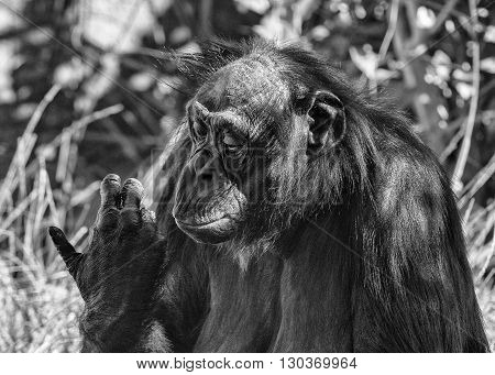 Bonobo Chimpanzee Ape Portrait Close Up In B&w