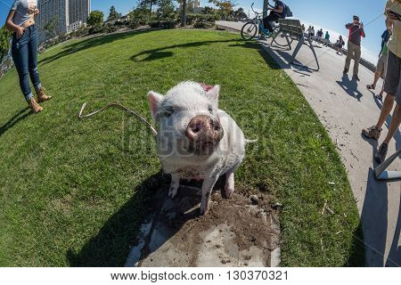 San Diego, Usa - November 14,  2015 - People Walking A Pink Baby Pig In San Diego Harnor Drive