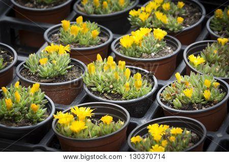 Delosperma congestum flowers in small pots on a market
