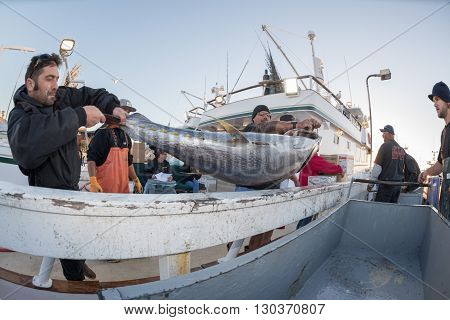 San Diego, Usa - November 17, 2015 - Fishing Boat Unloading Tuna At Sunrise