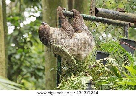 Young Hoffmann's two-toed sloth on the rail