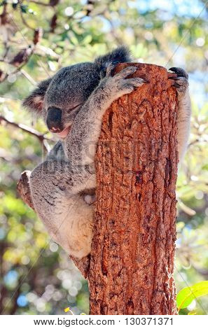 A koala relaxing on a tree and sleeping
