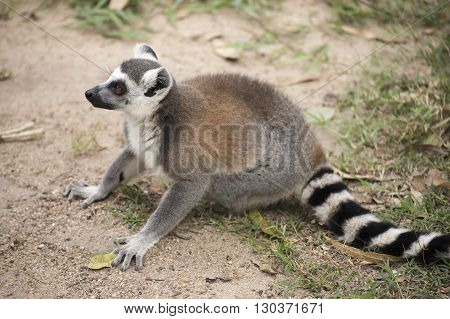 A Ring-tailed lemur sitting and looking something