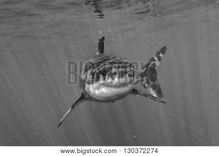 Great White Shark Attack In B&w