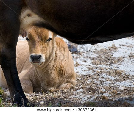 A Veal Looking At You Under His Cow Mother