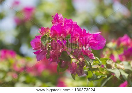 Bunch of bougainvillea flowers on the tree
