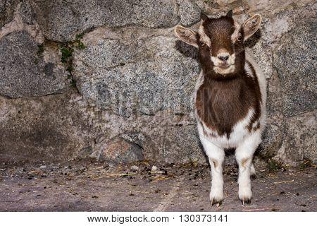 New Born White And Brown Goat Nannie
