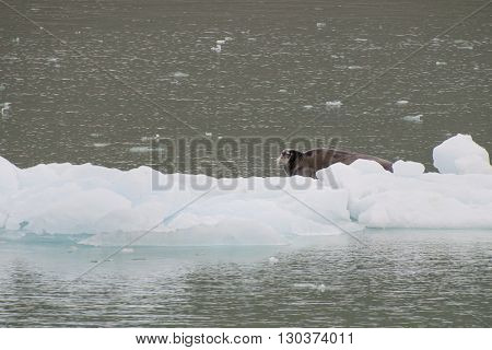 A Seal Relaxing On A Small Iceberg In Svalbard Spitzbergen
