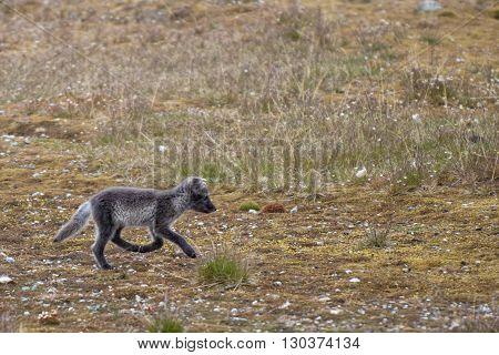 Arctic Fox In Svalbard Spitzbergen