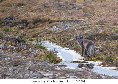 Arctic Fox In Svalbard Spitzbergen Island