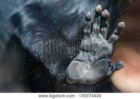 l'hoest's monkey hand detail close up on window