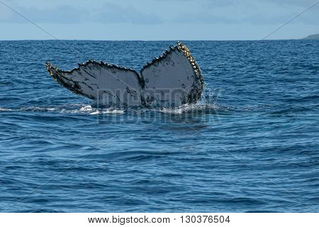 Humpback Whale Tail Going Down Underwater