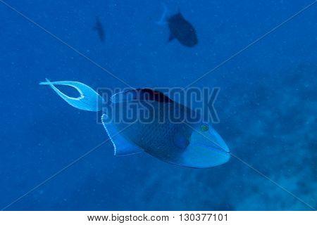 Blue Triggerfish While Diving Maldives