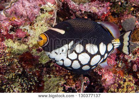 clown triggerfish portrait in maldives on reef