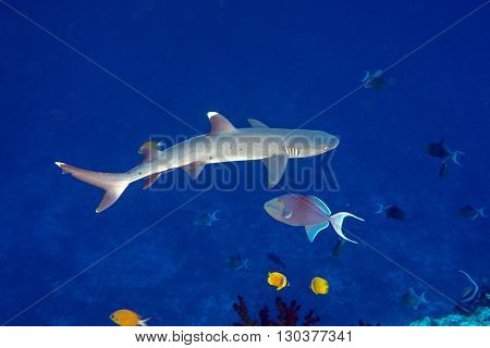 White Tip Reef Shark Ready To Attack Underwater