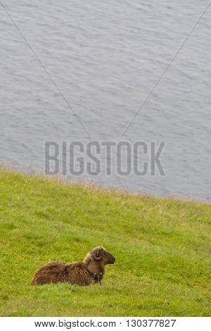A Brown Sheep Ram