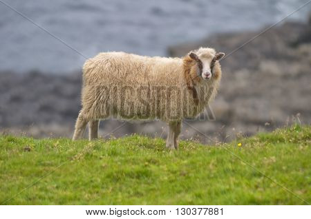 Female White Ram Sheep