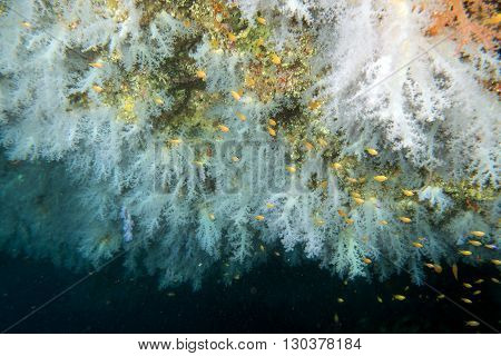 Alcyonarian Soft Coral Wall Underwater