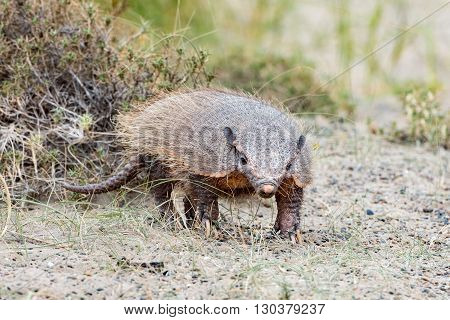 Patagonia Armadillo Close Up Portrait