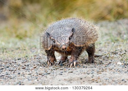 an armadillo close up portrait in patagonia