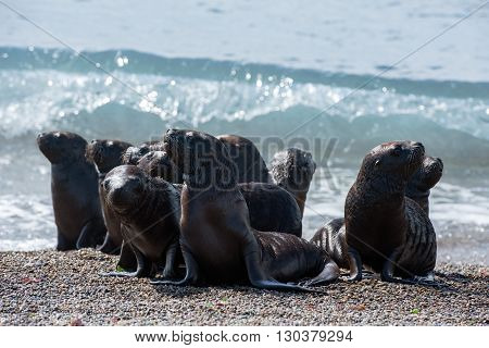 patagonia puppy sea lion portrait seal on the beach