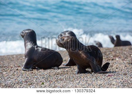 Baby Newborn Sea Lion On The Beach