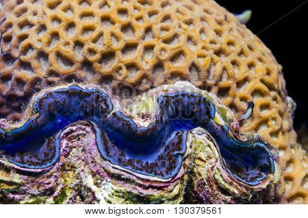 Red Sea Blue Giant Clam Close Up Portrait