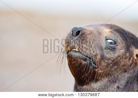 Baby Newborn Sea Lion On The Beach