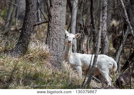 White Deer Ultra Rare Portrait