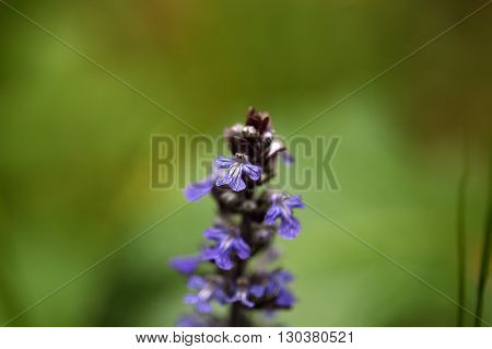 Bugle flowers Ajuga reptans. A wild growing traditional medical plant.