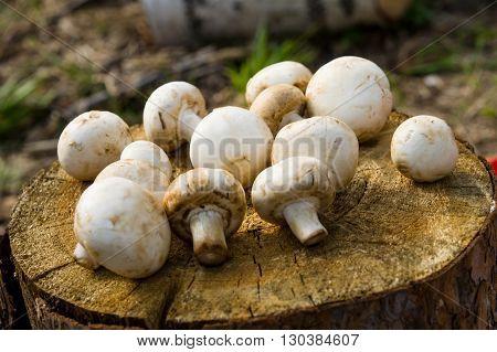 Bunch Of Mushrooms  Lies On The Stump