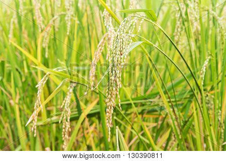 Close up of paddy rice seed in the rice field