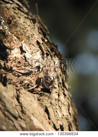 Cicada on a tree bark. Brown tree