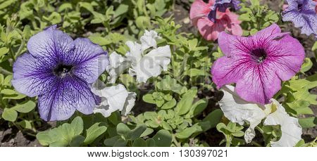 Petunia flowers in a pot on the street