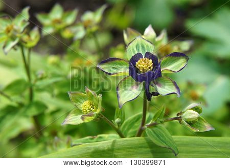 New ukrainian varieties of Columbine Aquilegia Flowers in the garden