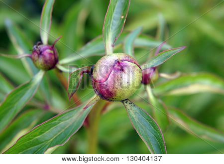 Unblown peony buds on a green background in the garden in spring