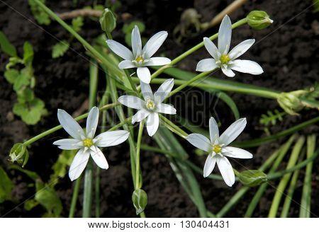 Beautiful White flowers and buds of Ornithogalum umbellatum (Star-of-Bethlehem)